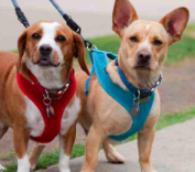 Downtown Bellevue Welcomes a New Dog Walking Service